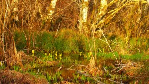 budding wetlands