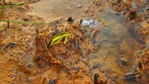 lil froggies