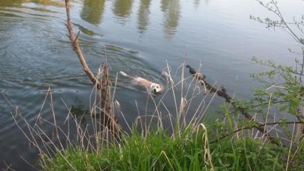Wilbur swimming