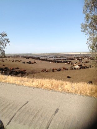 Gross, stinky cows as far as you can see.