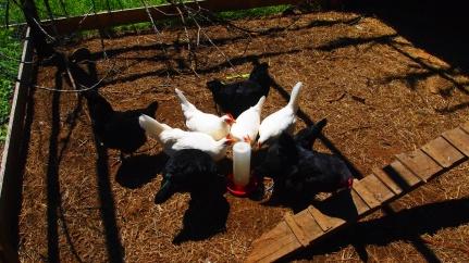 Thirsty chicks